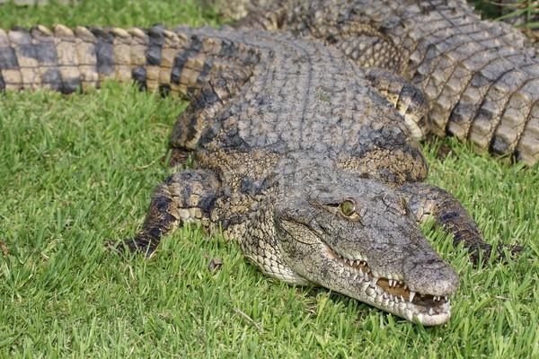 крокодила открытых рот природы зеленый Сток-фото © fouroaks