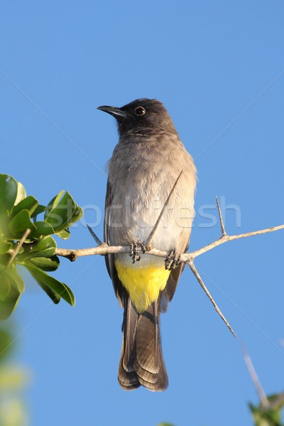 Yellow Vented Bulbul Bird Stock photo © fouroaks