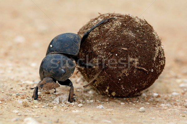 Flighless Dung Beetle Rolling Ball Stock photo © fouroaks