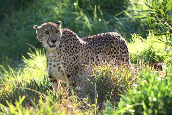 Guépard sauvage chat après-midi soleil visage Photo stock © fouroaks