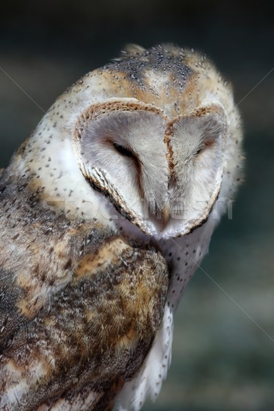 Schuur uil vogel portret mooie buit Stockfoto © fouroaks