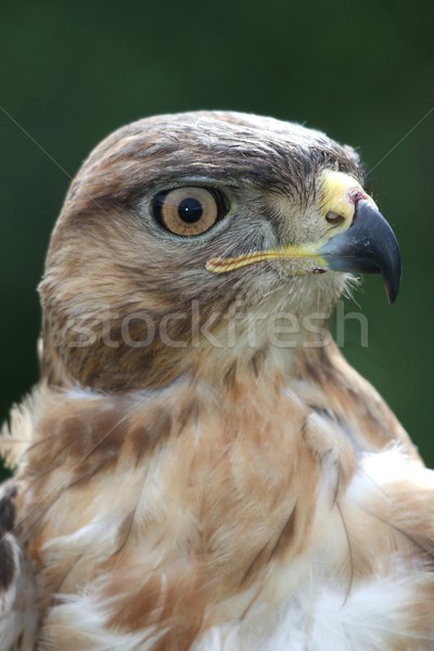 Kite Bird of Prey Stock photo © fouroaks