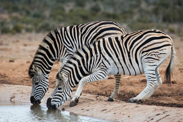 Zebra's drinkwater twee nerveus drinken Stockfoto © fouroaks