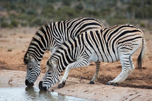 Zebras água potável dois nervoso potável Foto stock © fouroaks