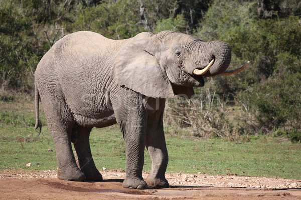 Big Male Elephant Drinking Stock photo © fouroaks