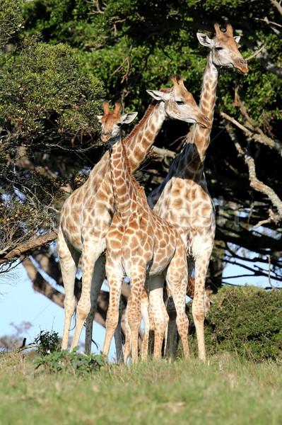 Giraffe familie drie giraffen permanente lang Stockfoto © fouroaks