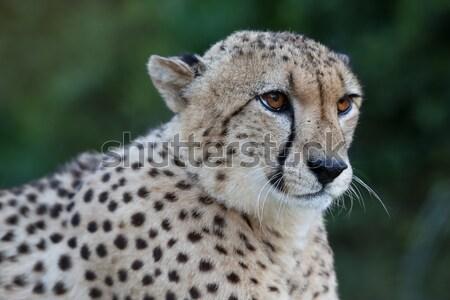 çita kedi güzel yüz portre Stok fotoğraf © fouroaks