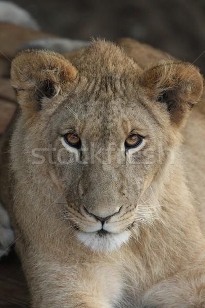 Jonge leeuw mooie bruine ogen gezicht kat Stockfoto © fouroaks