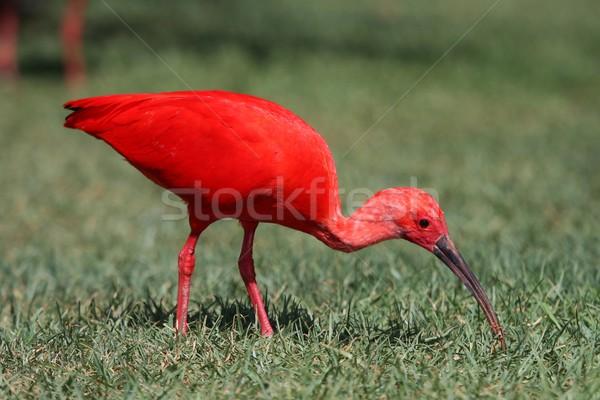 Scarlet Ibis Bird Stock photo © fouroaks