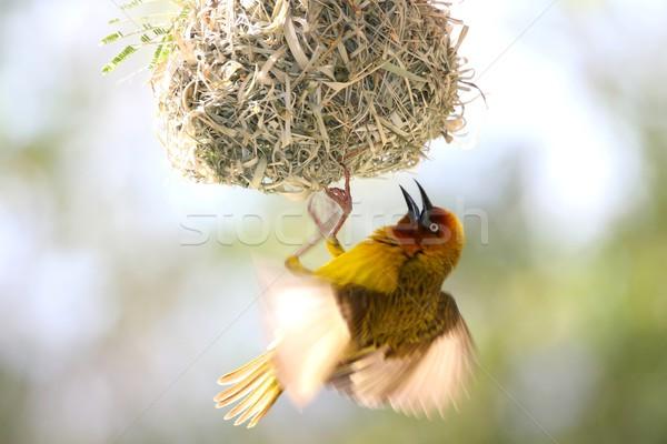 Cape Weaver Bird Attracting a Mate Stock photo © fouroaks