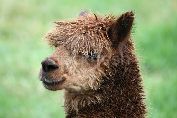 Alpaca Portrait Stock photo © fouroaks