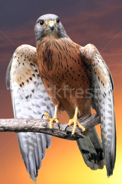 Kestrel Bird of Prey Stock photo © fouroaks
