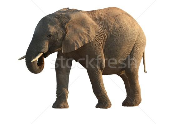 アフリカゾウ 孤立した 口 自然 緑 脚 ストックフォト © fouroaks