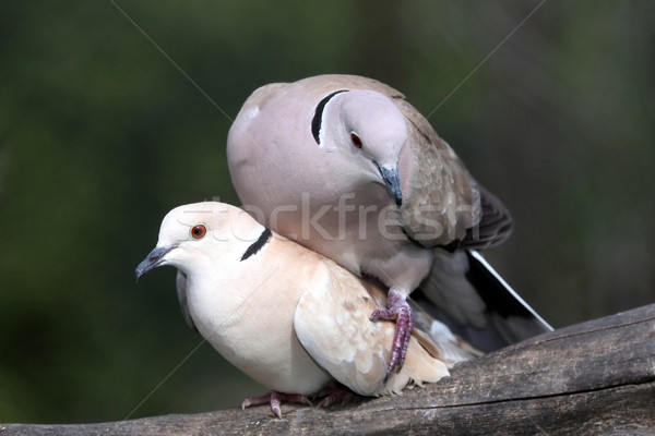 Mating Dove Birds Stock photo © fouroaks