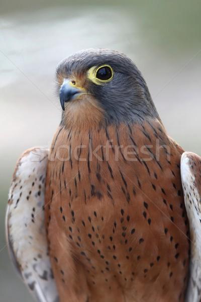 岩 鳥 餌食 ブラウン グレー 羽毛 ストックフォト © fouroaks