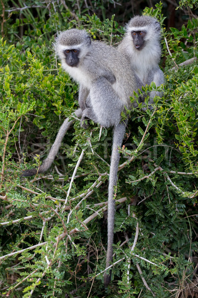 Majom barátok kettő aranyos majmok kicsi Stock fotó © fouroaks