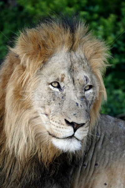 Male Lion Portrait Stock photo © fouroaks