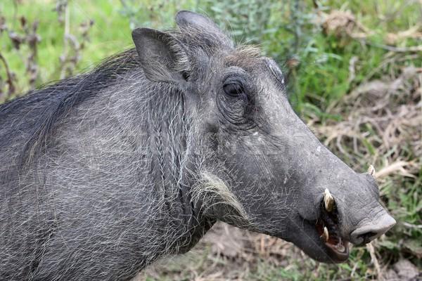 Fej portré éles természet fogak állat Stock fotó © fouroaks