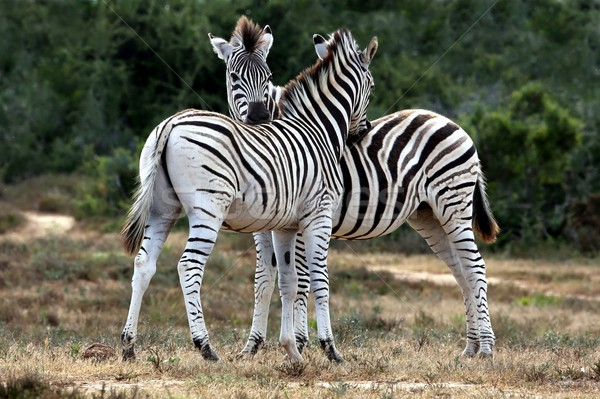 Zebras Grooming Stock photo © fouroaks