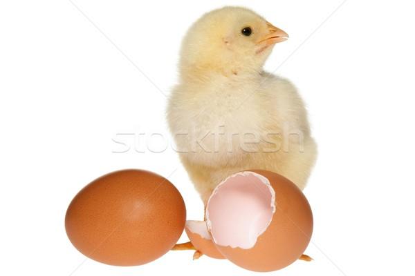 Baby Chicken & Eggs Stock photo © fouroaks