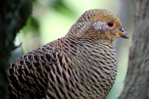 Beautiful Female Golden Pheasant Bird Stock photo © fouroaks