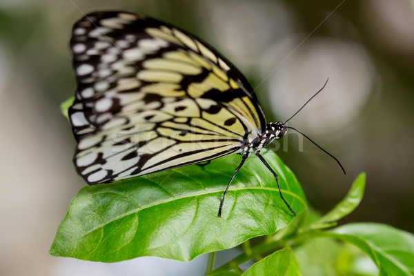 Tree Nymph or Paper Kite Butterfly Stock photo © fouroaks