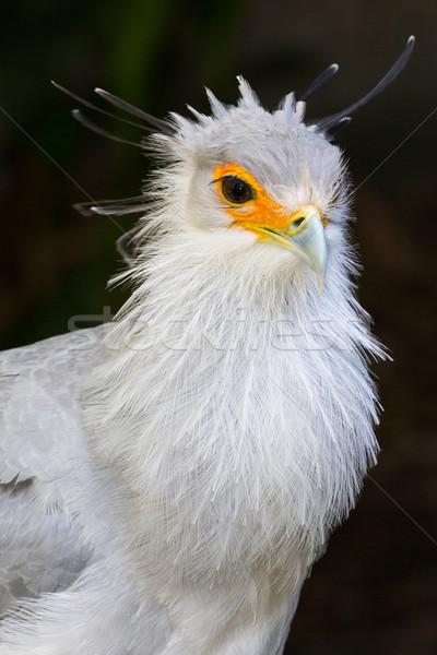 портрет секретарь птица добыча оранжевый лице Сток-фото © fouroaks