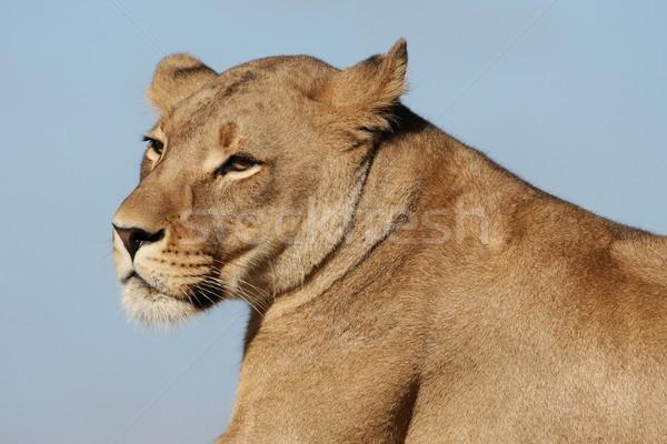 肖像 プロファイル 美しい 女性 ライオン 顔 ストックフォト © fouroaks