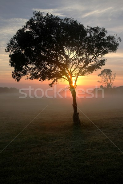 Tree and Mist at Sunrise Stock photo © fouroaks