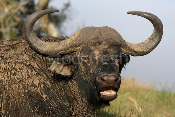 African Buffalo Portrait Stock photo © fouroaks