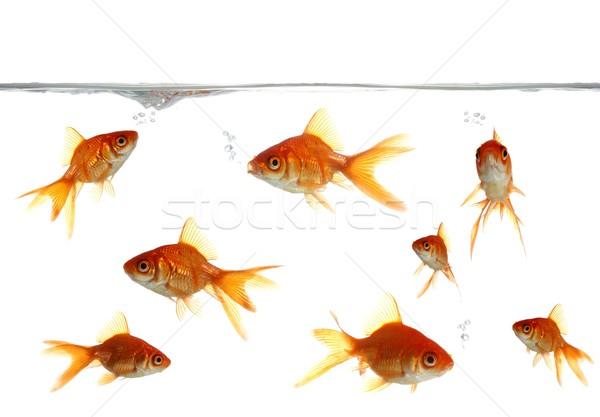 Goldfish Blowing Bubbles Stock photo © fouroaks