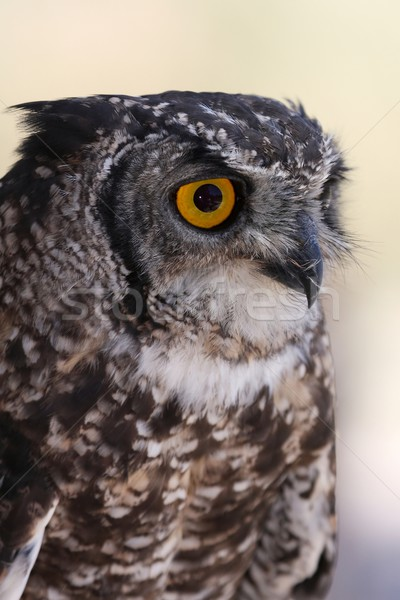 Eagle owl portrait jaune yeux oeil Photo stock © fouroaks