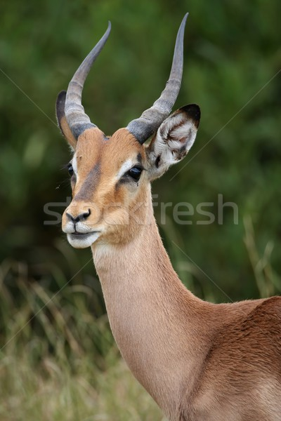 Impala Antelope Portrait Stock photo © fouroaks