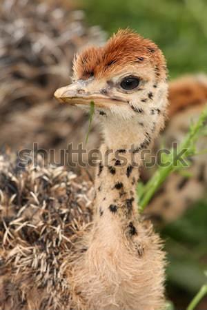 ダチョウ ひよこ 肖像 赤ちゃん 斑 鳥 ストックフォト © fouroaks
