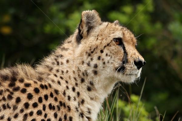 Cheetah portret wild kat afrika snelheid Stockfoto © fouroaks