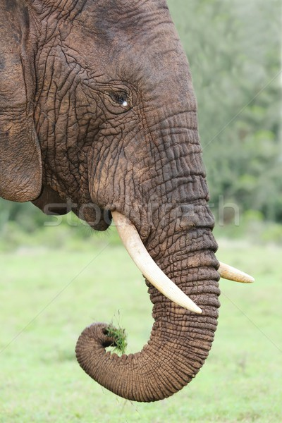 African Elephant Eating Grass Stock photo © fouroaks