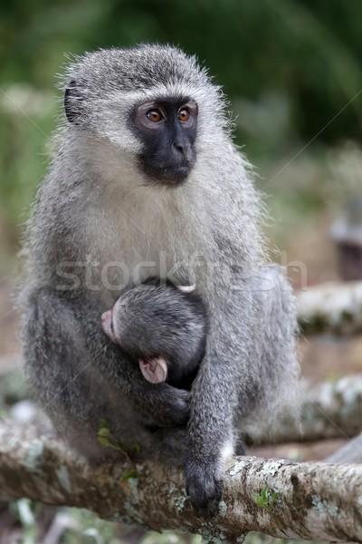 Baby Vervet Monkey and Mother Stock photo © fouroaks