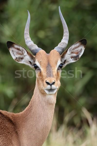 Young Impala Antelope Stock photo © fouroaks