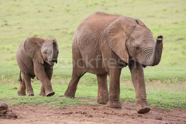 Foto stock: Jovem · elefante · africano · amigos · família · africano · elefantes