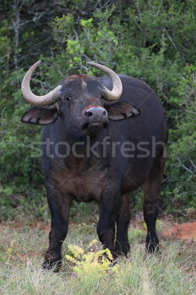 African Buffalo Stock photo © fouroaks