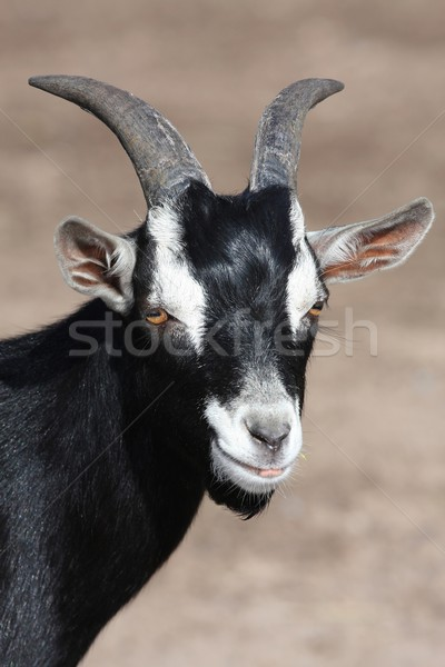 Black Goat Portrait Stock photo © fouroaks