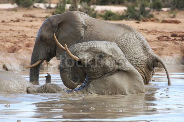 African Elephant Fun Stock photo © fouroaks