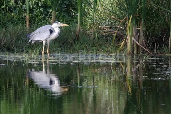 Cinza garça-real caça peixe natureza verde Foto stock © fouroaks