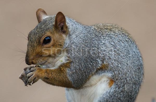 Aranyos szürke mókus Dél-Afrika étel szín Stock fotó © fouroaks