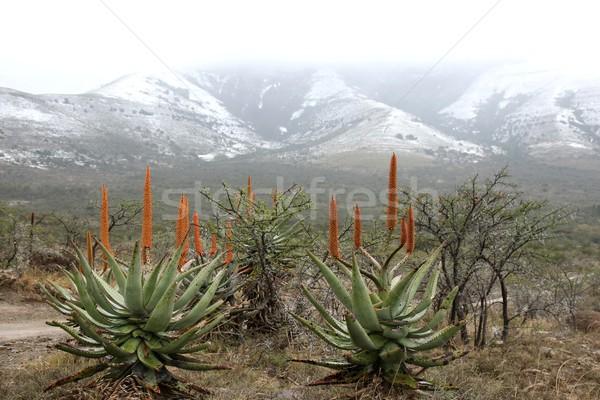 Snow and Aloes Stock photo © fouroaks