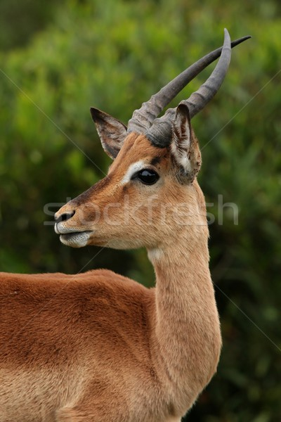 Impala Ram Young Stock photo © fouroaks