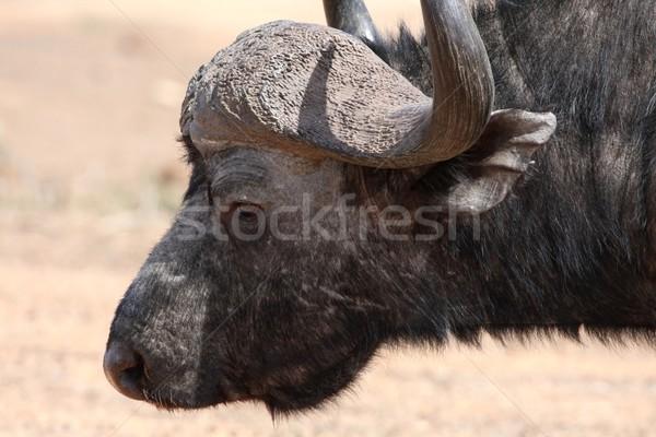 Buffalo Portrait Stock photo © fouroaks