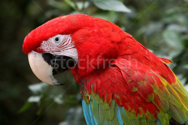 Green-Winged Macaw Parrot Stock photo © fouroaks