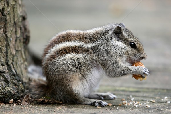 Palmiye sincap Hindistan yeme somun hayvan Stok fotoğraf © fouroaks