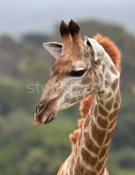 小さな キリン 肖像 アフリカ 眼 面白い ストックフォト © fouroaks